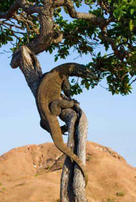 4 HARI NUSA TENGGARA TIMUR TREKKING LOH LIANG PULAU KOMODO PLUS SNORKELING DI PINK BEACH & MANTA POINT