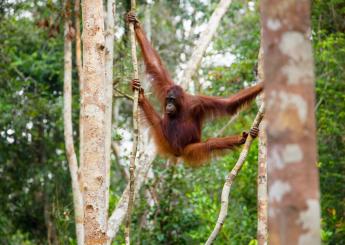 3 Days Wild Orangutan Tour At Tanjung Puting National Park Plus Accommodation (Houseboat)