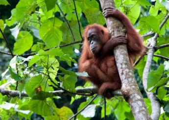 4 Days Wild Orangutan Tour At Palangkaraya Plus Accommodation (Hotel)