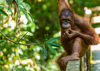 4h Orangutan Liar Lesan Plus Akomodasi (Hotel & Guesthouse)