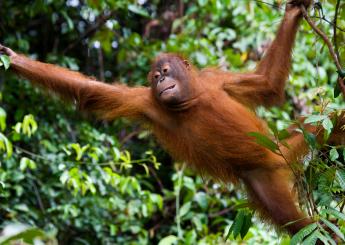 4h Orangutan Liar Plus Akomodasi (Hotel & Lodge)